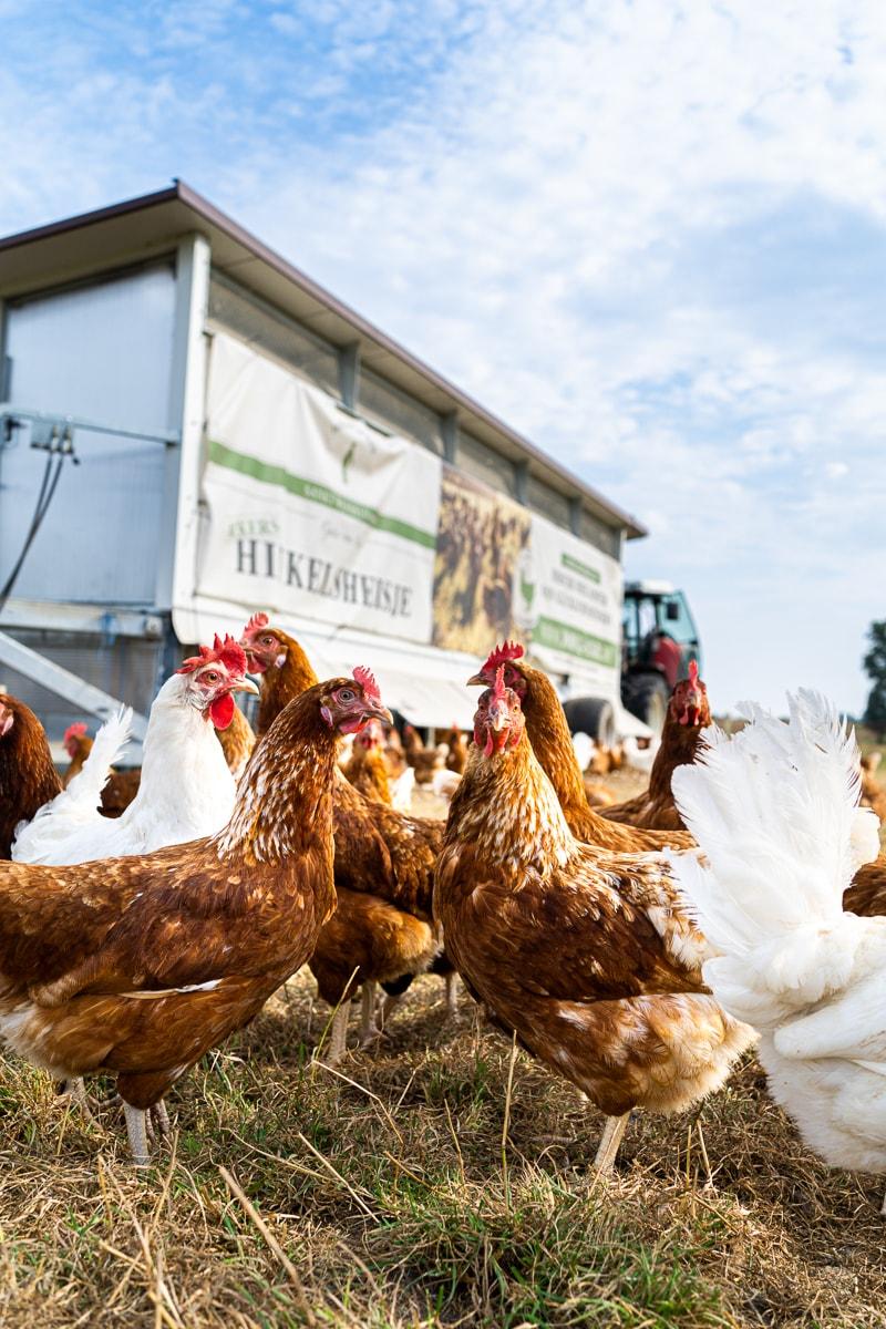 Hühner vor dem Hühnermobil